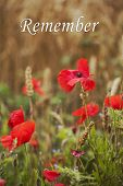 Remember - For Remembrance Day - Wild Poppies