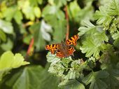 Comma Butterfly On Foliage