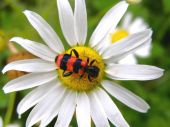 Bug On Chamomile