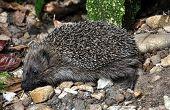 A Hedgehog - Erinaceus Europaeus