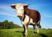 Big Cow Standing