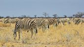 Zebra - Wildlife Background from Africa - Animal Kingdom Wonder and Fantastic Beauty