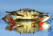 Live blue crab on blue background