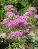 pic of pubescent  - Lilac meadow - JPG
