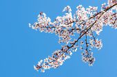 Sunlit Spring Blooming Branch Of Cherry Tree