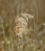foto of wind blown  - Reed seedhead blown by the wind looking golden - JPG