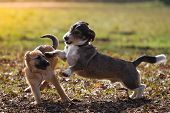 image of mongrel dog  - An adult mongrel dog playing with a German Shepherd puppy on a meadow in the sunshine - JPG