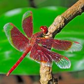 stock photo of stick-bugs  - Thai Odonata red Dragonfly male Trithemis aurora - JPG