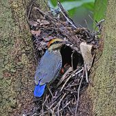 Female Blue Pitta
