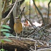 Female Blue-rumped Pitta