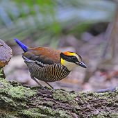 picture of belly-band  - Colorful Pitta - JPG