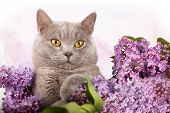 British kitten rare color and lilac flowers