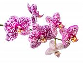 Fresh Branch Of Lilac Spotty Orchid Is Isolated On White Background