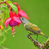 Sunbird Eating Fuchsia Flowers