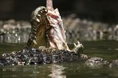 Eating Crocodile In The River