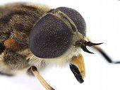 horsefly head