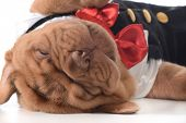 cute puppy - dogue de bordeaux puppy wearing tuxedo laying down sleeping