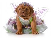 female puppy - dogue de bordeaux puppy wearing princess dress isolated on white background - 5 weeks