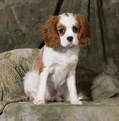 cavalier king charles spaniel puppy - blenheim 3 months old