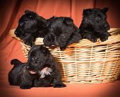 litter of puppies - four scottish terrier puppies in a basket