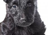 stock photo of scottie dog  - scottish terrier puppy head portrait isolated on white background - JPG