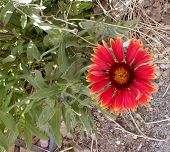 picture of xeriscape  - blanket flower vivid - JPG