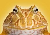 Close-up of an Argentine Horned Frog facing, Ceratophrys ornata, on a yellow background