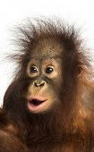 Close-up of a young Bornean orangutan looking amazed, Pongo pygmaeus, 18 months old, isolated on whi