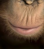 Close-up of young Bornean orangutan's mouth, Pongo pygmaeus, 18 months old, isolated on white