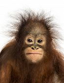 Close-up of a young Bornean orangutan facing, looking at the camera, Pongo pygmaeus, 18 months old,
