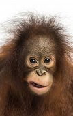 Close-up of a young Bornean orangutan making a face, looking at the camera, Pongo pygmaeus, 18 month