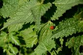 Ladybird In A Patch Of Nettles