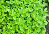 Moroccan Peppermint In Garden