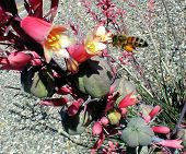 foto of xeriscape  - bee visits blooming red yucca - JPG