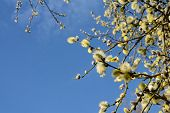 Springtime Willow Catkins Against The Sky