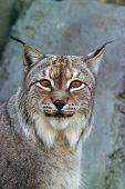 Lynx - III