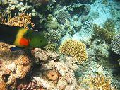 Tropical Exotic Fish In The Red Sea. Cheilinus Lunulatus