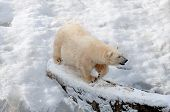Polar Bear Walking On The Snow