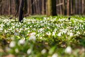 Vegetation Carpet Of Snowdrops In Floodplain Forest