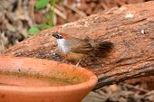 picture of babbler  - beautiful Chestnut - JPG
