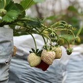 stock photo of strawberry plant  - Raw Strawberry on Strawberry Tree on organic plant - JPG