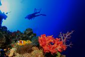 Scuba Divers swim over coral reef with nemo fish