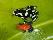 green and black and blue jean poison dart frogs on green leaf, costa rica