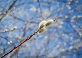Pussy Willow Catkins