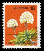 AUSTRALIA - CIRCA 1970s: A stamp printed in Australia shows Helichrysum thomsoni, circa 1970s