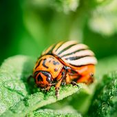 picture of potato bug  - The Colorado potato striped beetle (Leptinotarsa decemlineata) is a serious pest of potatoes