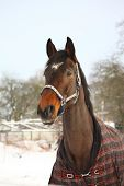 Portrait Of Brown Horse In Winter