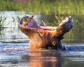 Roaring Wide mouth Hippopotamus