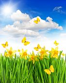 Daffodils Flowers And Butterflies In Green Grass. Blue Sky