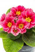 Pink Primulas. Spring Flowers Primrose